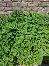SPEARMINT  5- LARGE HEALTHY ADULT PLANTS  Extra PUNGENT!  Mint Juleps! ... - $12.24