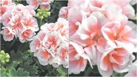 204 - 20 Pink White Geranium Seeds Hanging Perennial Flowers Seed Flower – RR01 - $27.95