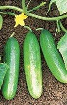 25 Seeds of Cucumber Bush Pickle Vegetable - $16.83