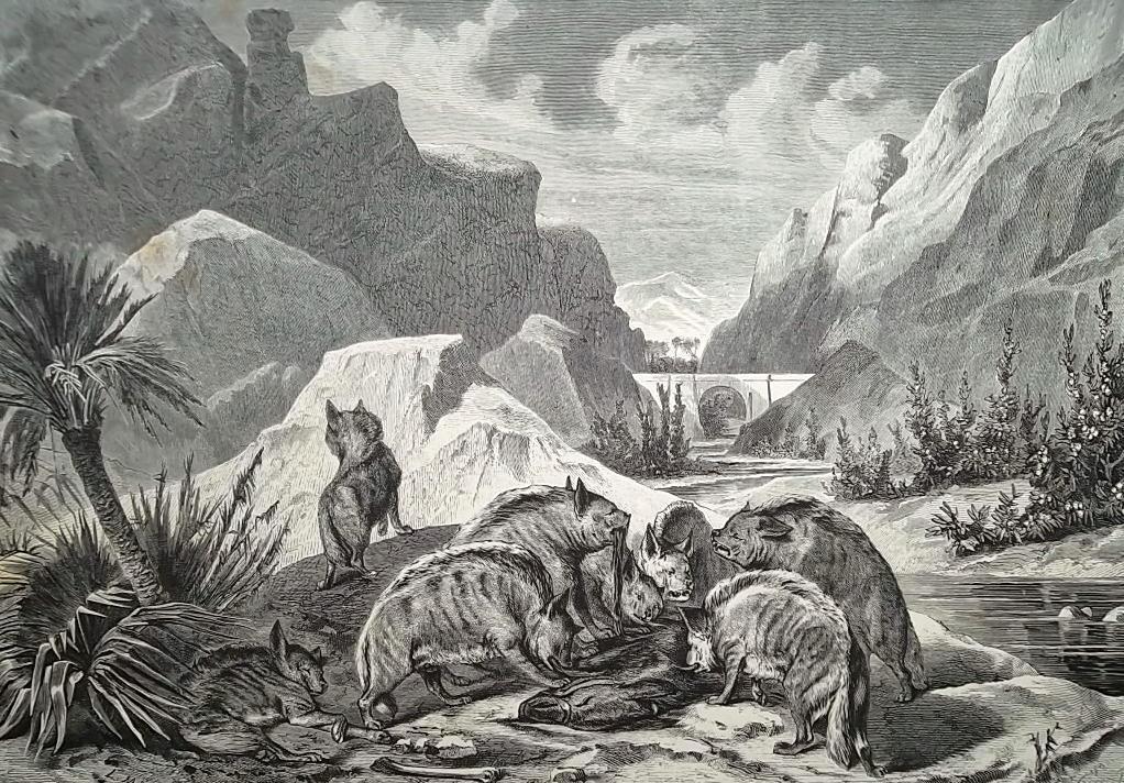 HUNTING in 19th Century Hyenas Devouring Prey - 1878 Fine Quality Print