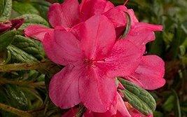 1 Starter Plant of Autumn Jewel Encore Azalea - 1 Gallon - $83.10