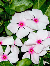SHIP FROM US 100 BRIGHT EYES PERIWINKLE Vinca  White & Pink Flower Seeds... - $12.00