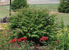"""Dwarf Burning Bush plant 4"""" pot Hardy Shrub (Euonymus Alatus) image 2"""