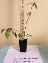 ITEA HENRY'S GARNET 10 plants Sweetspire image 5