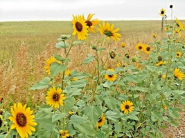100+WILD(Common)SUNFLOWER Seeds American Native Wildflower Kansas State ... - $2.75