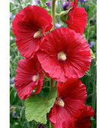 Red hollyhock1 thumbtall