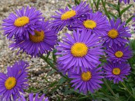 75 Blue Aster alpinus Daisy Flower Seeds Perenial - $7.99