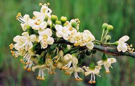 20pcs Fast Grow Kapok (Silk Cotton) Fresh Tree Seeds #IMA49 - $14.99