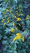 Organic Native Plant, Solidago rugosa, Wrinlkle Leaf Goldenrod,  Pollinators - $3.50