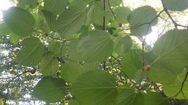 "20 Mulberry Tree Cuttings Cutting ORGANIC 10"" - $19.98"