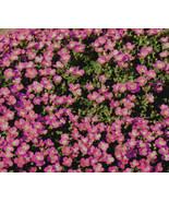 1,000 Bulk Seeds Aubrieta Rock Cress Whitewell, DIY Decorative Plant ov04 - $38.86