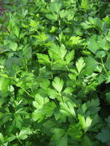 Ship From Us 1000 Seeds Giant Italian Flat Leaf Parsley Vegetable Herb Seed SBR4 - $11.99