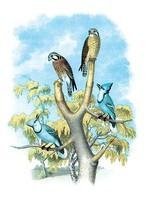 The Sparrow Hawk (Rusty-Crowned Falcon) by Theodore Jasper - Art Print - $19.99+