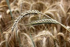 250 Seeds Winter Rye (Secale cereale) - $13.86