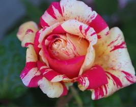 20pcs Very Unique Rare 'Fireball' Rose Shrub Perennial Garden Flower Seeds IMA1 - $13.85