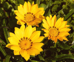 200 Bulk Fresh Seeds Very Exotic Kiss Golden Yellow Gazania Rigens #IMA36 - $61.99