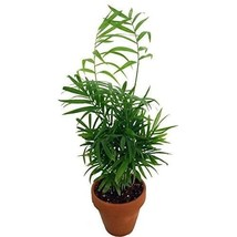 "Plant Victorian Parlor Palm - Chamaedorea - 4"" Clay Pot for Better Growt... - €13,63 EUR"