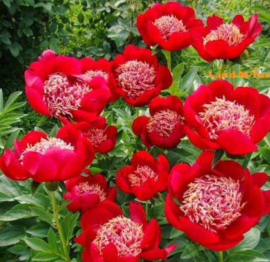 50 Rose Peony Rare China/'s Peony Seeds Paeonia Suffruticosa Flower Tree Plant