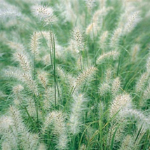 Five Cassian Feather Reed Grass - Ornamental Grasses - 5 Live Perennial Plants - $37.32