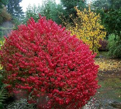 Fire Ball Euonymus alatus Tree Plant - Burning Bush - 4'' pot - $60.00