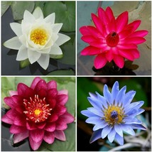 4 Tropical Water Lily Rhizomes in White Tropical Water Lily Bundle Dark Red Red Blue