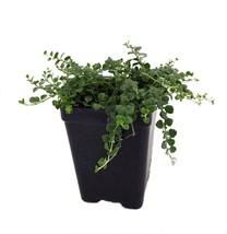 """2.5"""" Pot - Tiny Blue Veronica - Speedwell - Garden & Outdoor Living  - $45.99"""