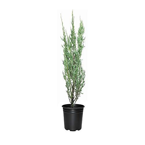 Blue Arrow Juniper - 9 Live 4 Inch Pots - Juniperus Scopulorum - Formal Evergree - $98.99