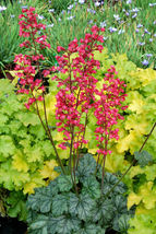 """2.5"""" pot heuchera PARIS pretty pink flowers coral bells 1 Live Potted Plant - $35.99"""