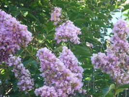 3 Potted Plants Muskogee Crape Myrtle Lagerstroemia indica Established  - $62.99