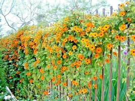 SHIPPED FROM US 160+BLACK EYED SUSAN VINE Flower Easy to Grow Seeds, CB08 - $19.00