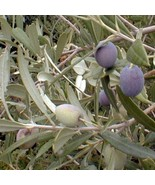 Arbequina Olive Tree Plant Cold Hardy Fruit 1-2 Feet - $38.99