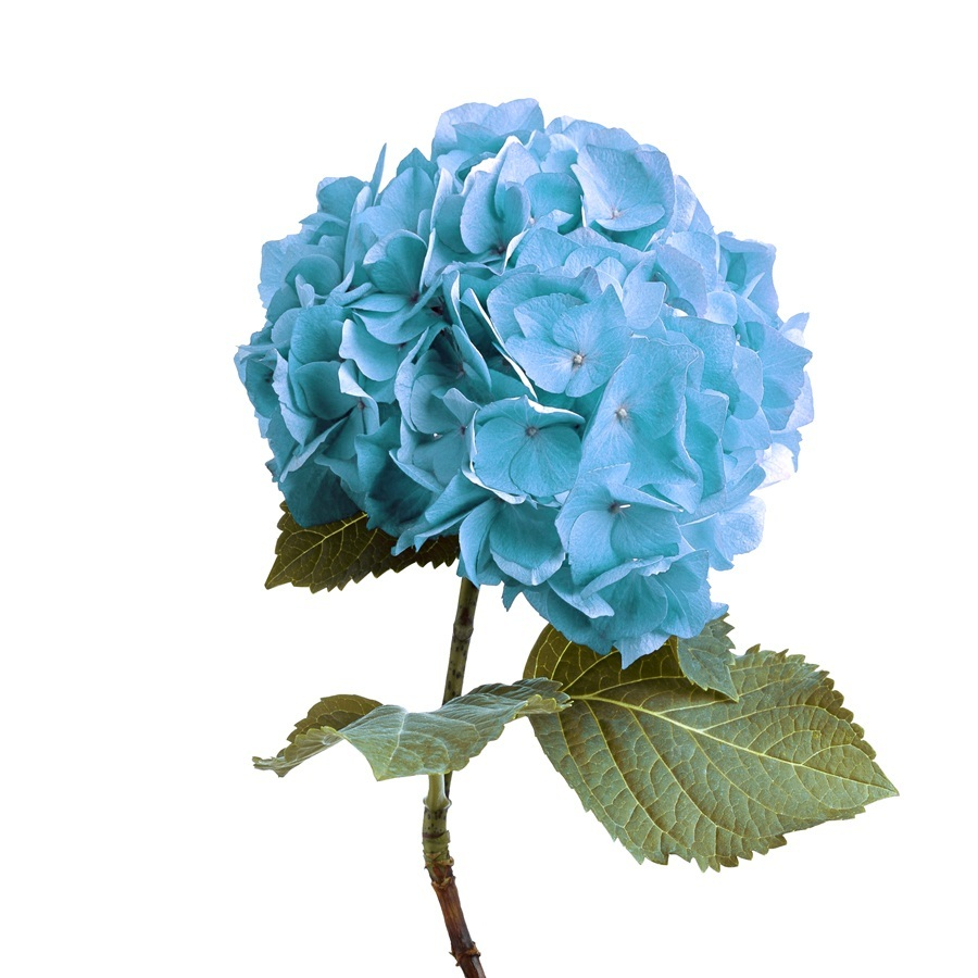 10 hydrangea seeds 7 kind color perennial and 50 similar items 10 hydrangea seeds 7 kind color perennial flower garden plant izmirmasajfo
