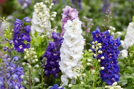 1000 Seeds Delphinium Seed Giant Imperial Mix Striking Mixed Colors - $19.99