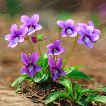 Viola Yedoensis Seeds Potted Flower Seeds Violet Flower Seed 50 Particles - $4.76