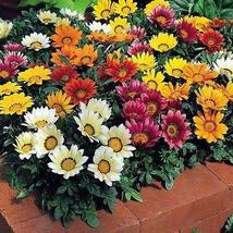 Gazania Splendens Mix Flower Seeds (Gazania Splendens) 30+Seeds - $4.99+