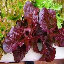 200Pcs Lettuce Red Salad Bowl Vegetable Seeds Lactuca Sativa Seed - $19.84