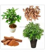 Zimt Zwerg Bäume Samen Bonsai Tree Seeds Hausgarten Pflanzen ElR8 - $1.07