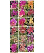 TEN PLANTS! Mokaras, Arandas And Vandas. Blooming Size Assorted Colors B... - $53.96