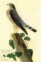 Pigeon Hawk by John James Audubon - Art Print - $19.99+