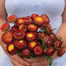 Copper Red Strawflower  Flower Seeds - $8.99