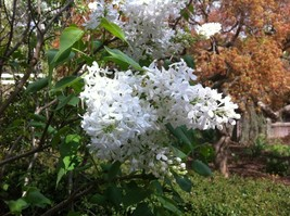 "3 Plants Lilac Betsy Ross White Flowering Fragrant Established in 3.5"" Pots - $60.39"