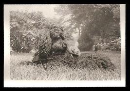 Black Poodle Dog Hamster Friend Vintage Animal Photo - $14.99