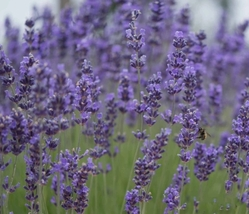 1000 pcs Very Fragrant Lavender Munstead Fresh Seeds #TLM1 - $25.99