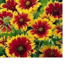 SHIPPED From US,PREMIUM SEED:500 Particles of Gaillardia Flower, Hand-Pa... - $18.99