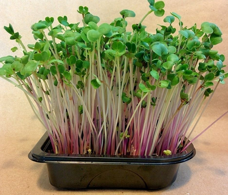 Primary image for SHIP From US, 200 Seeds Red Arrow Sprouting Radish, DIY Healthy Vegetable AM