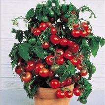 100/bag Climbing Tomato Bonsai Tomato Plants (19), HZ Healthy Vegetable ... - $8.89