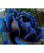 New Midnight Supreme Dark Blue Rose Bush Flower 50 seeds / pack Home and... - $13.58