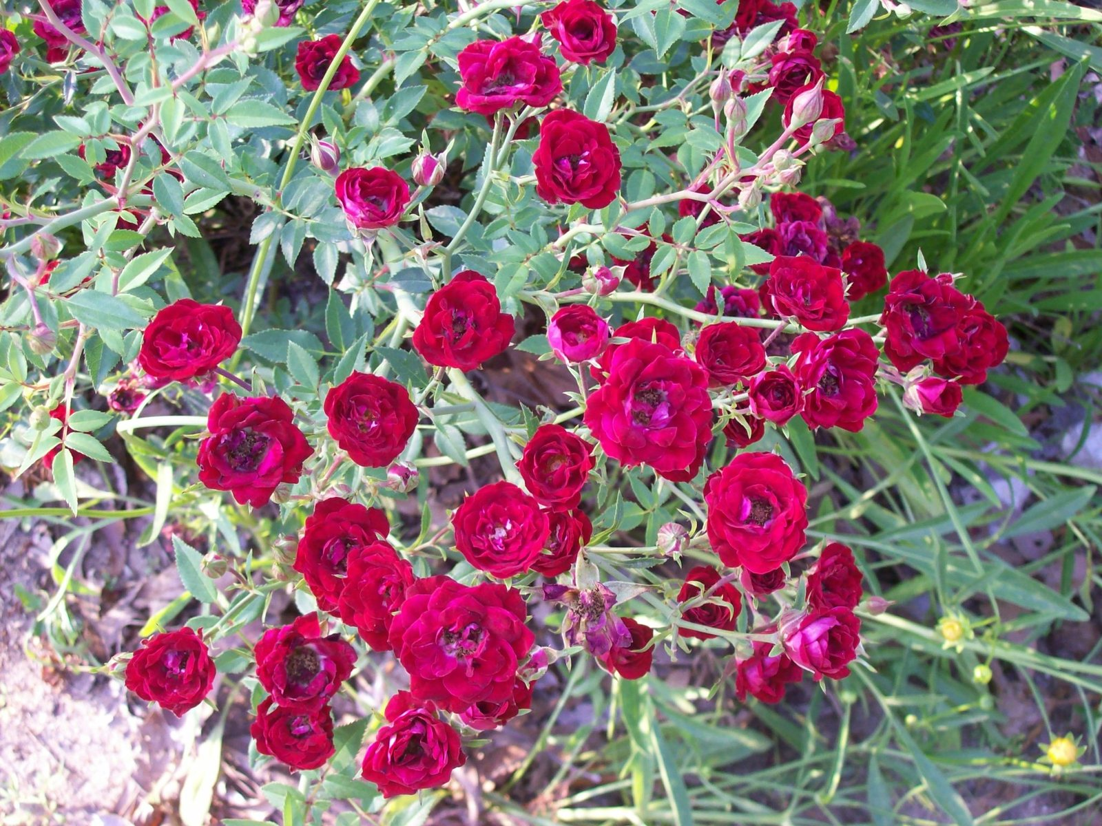 Used, Red Miniature Double Running Rose Everbloomer Perennial  starter plant for sale  USA
