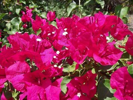 Live Plant Bougainvillea - 'barbara Karst' - Best Red Color Flowers - $40.99