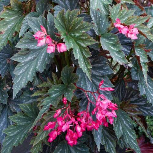 "Angel Wing Begonia - Lana - 1 Live Plant - 4"" Pot"